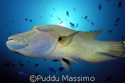 Napoleon fish,taken in maldives,ari atoll,with nikon d2x ... by Puddu Massimo 